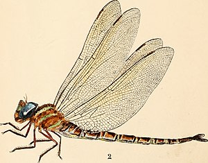 Dragon flies vs. mosquitoes. Can the mosquito pest be mitigated? Studies in the life history of irritating insects, their natural enemies, and artificial checks (1890) (21004185411).jpg
