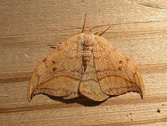 Drepana (moth) - Drepana curvatula