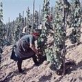 Druivenpluksters aan het werk, Bestanddeelnr 254-6089.jpg
