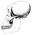 Dryopithecus brancoi.png