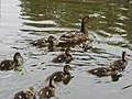 Duck family in Yurigahara/百合が原公園カモの親子 - panoramio.jpg