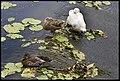 Ducks on the Creek Wall-1+ (2273889320).jpg