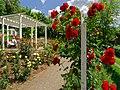 Duftende Schönheit, der Rosengarten im Kurpark Bad Mergentheim. 10.jpg