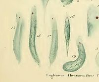Euglena wikipedia historical background and early classificationedit ccuart Images