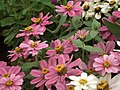 Dwarf Zinnia from Lalbagh flower show Aug 2013 8241.JPG