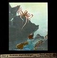 ETH-BIB-Undersea-people Galapágos-Dia 247-F-00545.tif