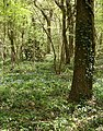 Early Bluebells in Dicker`s Wood - geograph.org.uk - 405669.jpg