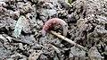 Earthworm 3.jpg