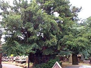St Mary's Church, Eastham - Yew tree in churchyard
