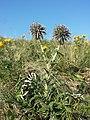Echinops ritro (subsp. ruthenicus) sl35.jpg