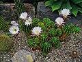 Echinopsis oxygona 001.jpg