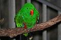 Eclectus roratus -Dallas Zoo, Texas, USA-8a.jpg