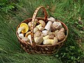 Edible fungi in basket 2012 G1 editMMK.jpg