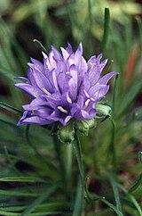 Edraianthus serbicus 2.jpg