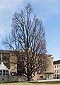 Eiche vor Innsbrucker Stadtcafe.jpg