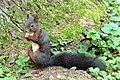Eichhörnchen mit Cashewnuss.jpg