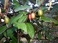 Elaeagnus ebbingei 2c.JPG