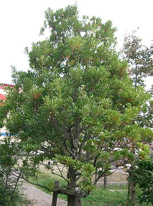 Elaeocarpus sylvestris - Image: Elaeocarpus sylvestris 3