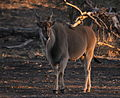 Eland (Taurotragus oryx) in Mapungubwe - sunset at the waterhole (6032221121).jpg