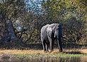 Elefante africano de sabana (Loxodonta africana), delta del Okavango, Botsuana, 2018-07-31, DD 05.jpg