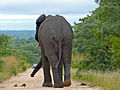 Elephant (Loxodonta africana) signalling it wants to turn left (12908356225).jpg