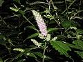 Elsholtzia ciliata LJM-5450557.jpg