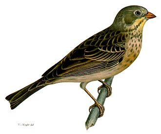 Ortolan bunting - Female