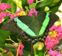 Emerald Swallowtail.jpg