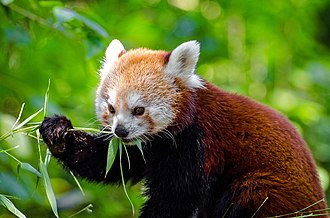 Red panda - The red panda's herbivore diet