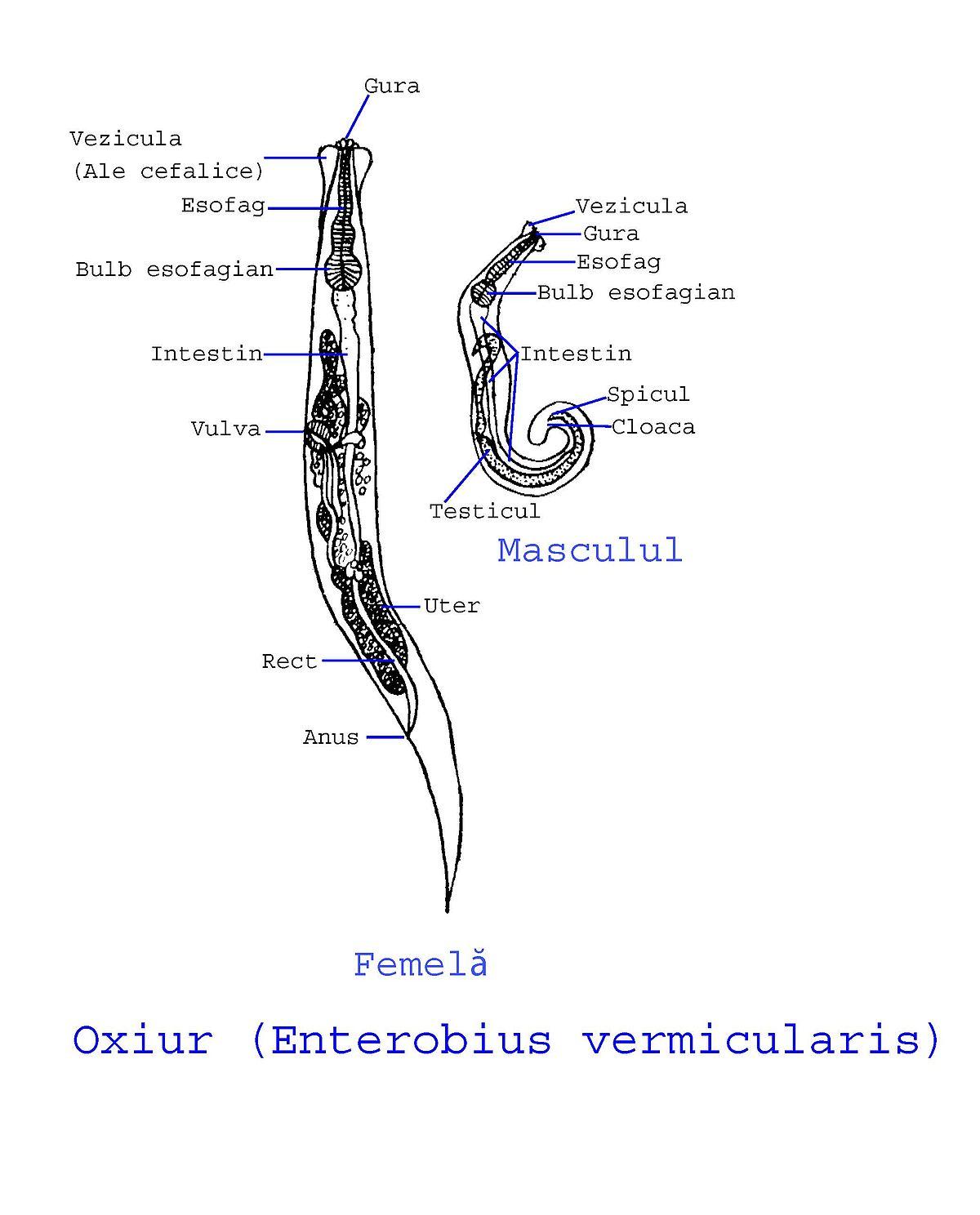 nome cientifico oxiurus