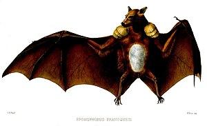Franquet's epauletted fruit bat - Image: Epomophorus Franqueti Ford