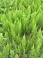Equisetum arvense 117578468.jpg