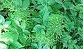 Equisetum sylvaticum (Wood Horsetail), Mote Hill, Cumnock, East Ayrshire.jpg