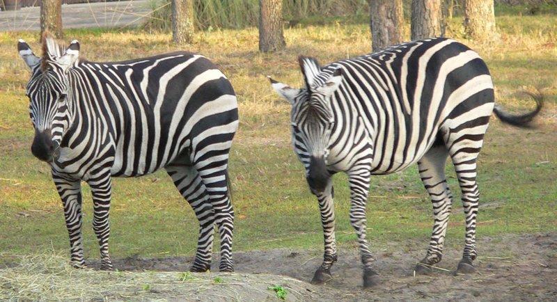 File:Equus burchelli bohmi.jpg