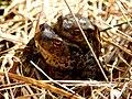 Erdkrötenpärchen im NSG Ribnitzer Großes Moor.jpg