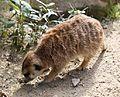 Erdmaennchen Suricata suricatta Tierpark Hellabrunn-6.jpg