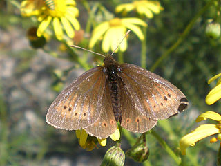 Small mountain ringlet species of insect