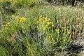 Ericameria nauseosa kz04.jpg