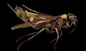 Horntail - Eriotremex formosanus, Blount County, Tennessee