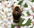 Eristalis intricaria (male) - Flickr - S. Rae (2).jpg