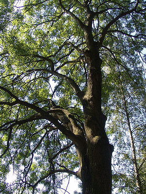 Habit of the common ash (Fraxinus excelsior)