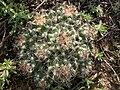 Escobaria vivipara (4008222754).jpg