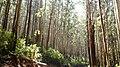 Eucalyptus Grandis Plantation, Gudalur - panoramio.jpg