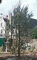 Eucalyptus Thabor Rennes.JPG