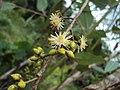 Eucalyptus camaldulensis 23.JPG