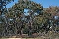 Eucalyptus leucoxylon (Yellow Gum) woodland, Moora Track, Grampians National Park, Victoria Australia (5043610779).jpg