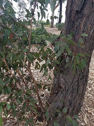 Eucalyptus fibrosa - Image: Eucalyptusfibrosa WP1