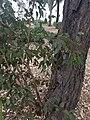 EucalyptusfibrosaWP1.jpg