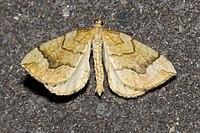 Eulithis.mellinata.7206.jpg
