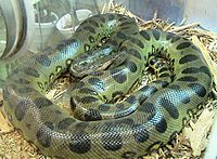Green anaconda, E. murinus